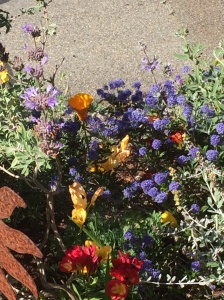 Ceanothus amidst salvia and freesias