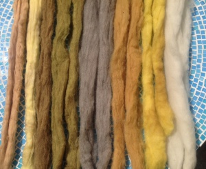 Right to left Corriedale natural white, dyed with oxalis, dyed with toyon. Corriedale natural tan, dyed with oxalis, dyed with toyon. White merino with oxalis, toyon off the left edge.